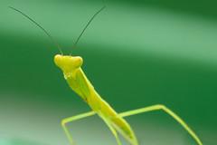 Baby Mantis (kompiler1) Tags: macro mantis insect praying prayingmantis