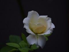 La mas linda del Jardin (Ibañez Matias) Tags: planta nature garden nikon jardin rosa blanca mm manual nikkor rosas 18105 nikonistas d7100