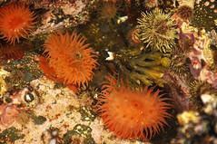 Tide Pool Life (Buzz Hoffman) Tags: alaska intertidal tidepool pacificcoast seaanemone seaurchin alaskamaritimenationalwildliferefuge kiskaisland aleutianislands