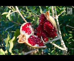 Quin os pillara? (Juan de la Cruz Moreno Balboa) Tags: naturaleza plantas granada huerta beda fruto punicagranatum