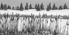 _DSC2306_bw (doug.metcalfe1) Tags: trees winter bw snow ontario landscape blackwhite outdoor