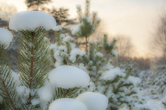 Pine Tree Covered With Snow (AudioClassic) Tags: snowflake christmas blue winter sunset sunlight snow cold tree ice nature pine forest outdoors photography estonia day branch nopeople christmastree falling fairy blizzard baretree glade firtree icecrystal tranquilscene beautyinnature nonurbanscene