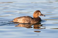 Female Redhead Duck (lybrand) Tags: water birds us unitedstates lasvegas wildlife nevada ducks sunsetpark redheadduck