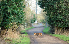 Muntjac Crossing! (RiverCrouchWalker) Tags: trees winter animal fence mammal gate track path deer february essex muntjac 2016 leevalleycountrypark muntiacusreevesi countyofessex muntjaccrossing