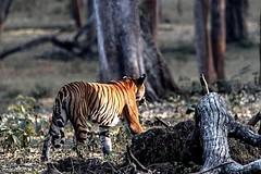 Wildlife of Southern India (minkuashish) Tags: kabini nagarholenationalpark royalbengaltiger