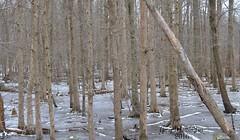 Frozen Woods_9042 (Porch Dog) Tags: trees winter cold ice landscape outdoor kentucky february frigid 2016 garywhittington nikon18300mm nikond7000