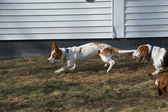 IMG_6101 (BFDfoster_dad) Tags: hound basset