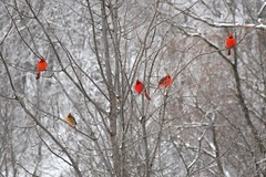 Cardinals (4 males & 1 female) in Winter, in the Hendrie Valley, Burlington Canada (Joseph Hollick) Tags: bird rbg burlington cardinal cardinaliscardinalis winter red white