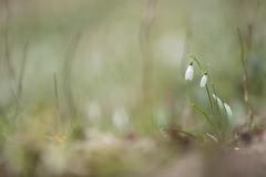 Timide duo (Les Frres des Bois) Tags: fleurs neige plantes perce sousbois perceneige 1dx