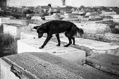 pn_the vastness of forgetting_ (darkerthanblue) Tags: dog cemetery existentialism morocco marrakech forgetting