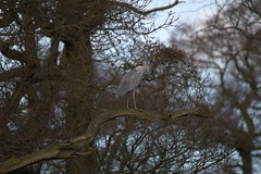 Grey Heron Hardwick Ponds 2016 (Chris.Moakes) Tags: bird heron birds outdoors grey hall wildlife large sigma ardea mm hardwick herons ardeidae 2016 cinerea bitterns 150500
