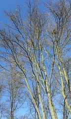 dipinto di blu (martini_bianca) Tags: himmel cielo blau albero ramo kontrast baum zweige zweig