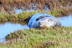seals (9) (timson.julie) Tags: beach seals donnanook