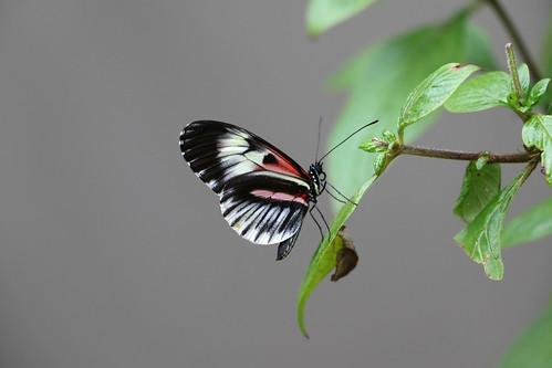 Piano Key Butterfly...6O3A2194A