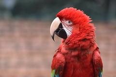 Scarlet macaw (MOHAMED TAZI) Tags: red wild bird scarlet hongkong wildlife parrot exotic wildanimal wilderness macaw mohamedtazi