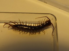 Centipede - Lithobius forficatus (Fred's Uncle) Tags: centipede myriapod