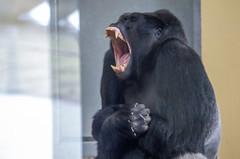 Gorilla (Hans van der Boom) Tags: netherlands animal gorilla nederland nl primate safaripark beeksebergen noordbrabant orangutang hilvarenbeek hilarenbeek
