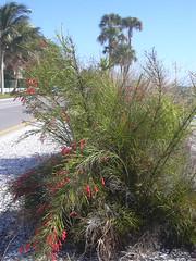 starr-031108-0179-Russelia_equisetiformis-habit-Lido_Beach-Florida (Starr Environmental) Tags: russeliaequisetiformis