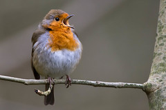 Singing robin (Shane Jones) Tags: bird robin nikon singing 200400vr d7200