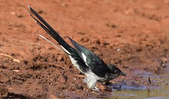 Levaillant's Cuckoo  (Clamator levaillantii) (Ian N. White) Tags: botswana limpoporiver tuliblock levaillantscuckoo clamatorlevaillantii