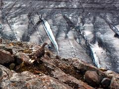Ptarmigan by Glacier (Dru!) Tags: canada bird ice bc britishcolumbia glacier ptarmigan coastmountains whitetailedptarmigan boundaryranges seabridgejulyolympus