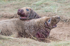 The Fight (david.chapman90) Tags: wildlife fighting greyseal donnanook lincolncameraclub