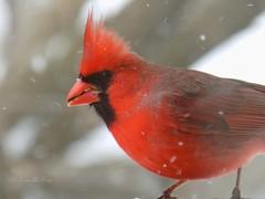 Cardinal (NaturewithMar) Tags: winter white snow macro male bird cardinal northern 2016 nikoncoolpix l330