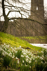 Snowdrops at Fountains (craeglea) Tags: abbey yorkshire north snowdrops fountains
