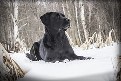 Tyson - EXPLORED (Marc Filice) Tags: winter portrait dog pet pets white snow ontario canada black cold detail dogs contrast canon outside friend lab labrador day outdoor explore swamp february bestfriend companion stance fullbody
