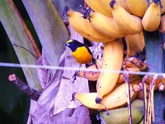 Pássaro e bananas... (VenilsonPereira) Tags: black verde green bird natureza banana preto amarelo passaro yallow arlivre