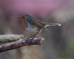 robin (Simon Dell Photography) Tags: uk winter red wild england bird simon robin garden photography breast dell brest 2016 natire hackenthorpe