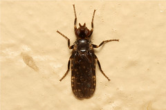 Diptera sp. (Fly) - South Africa (Nick Dean1) Tags: insect southafrica fly insects arthropods arthropoda krugernationalpark arthropod diptera hexapod insecta lowersabie hexapods hexapoda