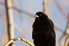 Male Red-winged Blackbird 24 (LongInt57) Tags: blue red brown canada black tree bird nature yellow bush bc okanagan wildlife branches kelowna blackbird redwinged