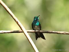 Amazilia boucardi (Gmo_CR) Tags: male bird birds costarica hummingbird birding aves caldera ave macho birdwatching colibrí cocora cocorocas chomes matadelimón amaziliaboucardi