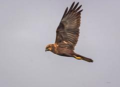 Flying eagle ([s e l v i n]) Tags: india bird birds fly flying eagle bombay mumbai birdphotography flyingbird flyingeagle indianbirds bhandup bhanduppumpingstation bhanduppumpstation ©selvin birdsinbhanduppumpingstation