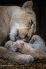 DSC_3818-1 (Linda Smit Wildlife Impressions) Tags: cats white nature animal cat mammal photography big nikon outdoor african wildlife birth lion d750 cubs endangered lioness bigcats cecil carnivore lioncubs givingbirth