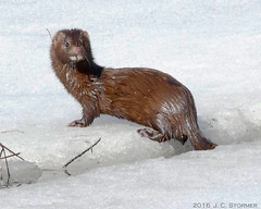 American Mink (jaybirding) Tags: me animal mammal dresden us maine stormer leicavlux114