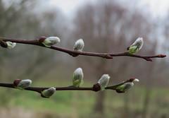 Soft (Elisa1880) Tags: netherlands leiden spring nederland willow lente catkins katjes wilgenkatjes cronesteyn polderpark