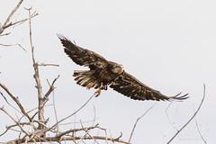 Juvenile Bald Eagle struggles to land - 5 of 27