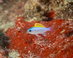 Oval chromis (Chromis ovalis) (DavidR.808) Tags: ocean sea fish hawaii pacific oahu tropical reef damsel chromisovalis
