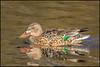 Shoveler (Female) (John R Chandler) Tags: uk bird female duck unitedkingdom coventry westmidlands shoveler warwickshire wildfowl anasclypeata brandonmarsh warwickshirewildlifetrust