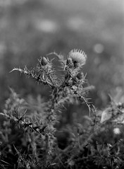 Little thistle (rodrigo.blackburn) Tags: blackandwhite flower spain europe bokeh thistle burgos castillayleón fujiacross100 olympusom2n d7611 nikoncoolscaniv zuiko50mm14 tañabueyes