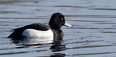 Tufted Duck 2 (alanj49) Tags: water duck reservoir tuftedduck wilstone