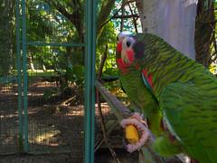 Santa Clara MiniZoo, Cuba 2016 (lezumbalaberenjena) Tags: santa clara animals zoo cuba parrot villa zoolgico animales villas cotorra amazona 2016 zoologico leucocefala