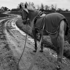 Coming? (tusenord) Tags: bw horse monochrome hästar mivida svartvitt longreining tömkörning