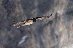 Tone On Tone (grey_tie) Tags: wild alps switzerland vulture bearded valais beardedvulture