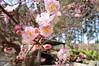 DSC02447 (Josie L.) Tags: flower 花 miaoli 苗栗 plumflower 梅花 苑裡