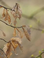 Passage de relais ** (Titole) Tags: leaves spring oak feuilles friendlychallenges thechallengefactory titole nicolefaton