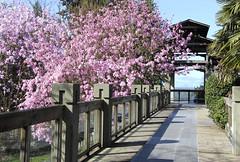 Magnolia Fence Friday (ruthlesscrab) Tags: pink canada vancouver fence bc ubc magnolia botanicalgardens sargentiana fencefriday