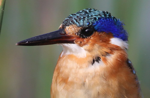 """Malachite Kingfisher, Alcedo cristata at Marievale Nature Reserve, Gauteng, South Africa • <a style=""""font-size:0.8em;"""" href=""""http://www.flickr.com/photos/93242958@N00/25792003752/"""" target=""""_blank"""">View on Flickr</a>"""